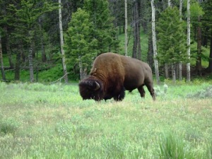 Buffalo at Yellowstone National Park